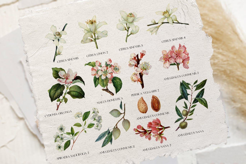 复古花卉植物水彩插图PNG图片素材 Tender Floral Botany – Vintage Illustrations插图(1)