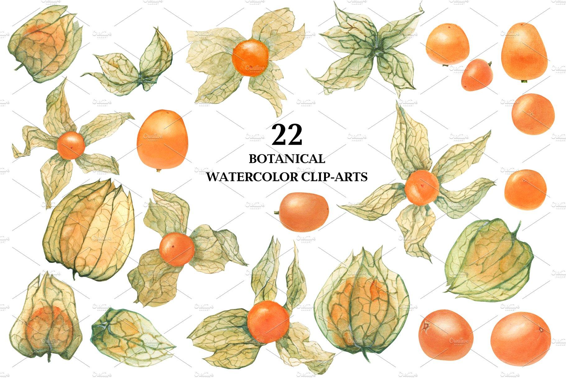 现代水彩水果装饰图案插图PNG透明图片素材 Physalis Botanical Watercolor插图